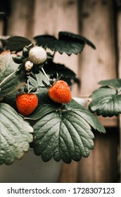 Two red Strawberries with Green Leaves