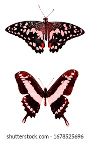 Two red tropical butterflies isolated on a white background. moths for design