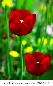 Two red tulip among green grass