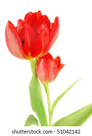Two red tulips closeup isolated on white background, Spring flowers image.