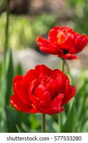 Two red tulips in the garden. Spring concept