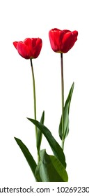 Two red tulips isolated