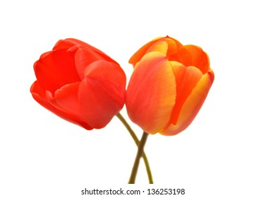 Two red tulips isolated on white background