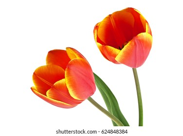 Two red tulips on a white background