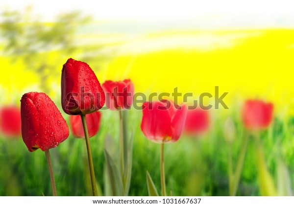 Two red tulips on the yellow background