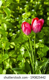 Two red tulips in Spring