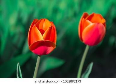 Two red tulips - variety apeldoorn