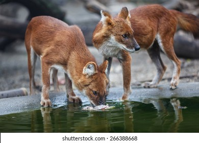Two red wolf eating meat by the water