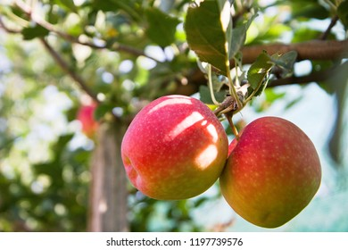 two red and yellow apples on the tree