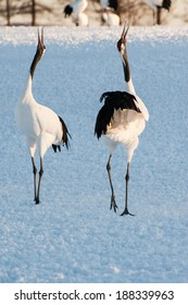 Two Red-crowned Cranes