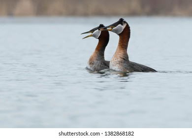Two Red-necked Grebes performing their courting ritual. Colonel Samuel Smith Park, Toronto, Ontario, Canada.