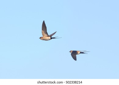 Two Red-rumped Swallows (Cecropis daurica) in flight, Andalucia, Spain.