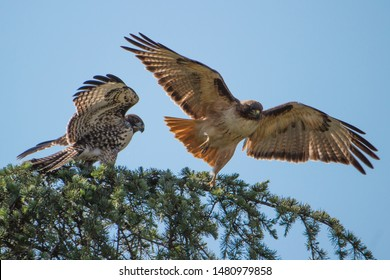 Two red-tail hawks dispute a tree branch.