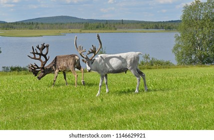 Two Reindeers with large horns grazing on green meadow on shore of northern lake. Finnish Lapland