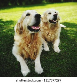 two retviever dogs on green grass
