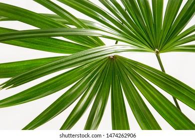 Two Rhapis laosensis foliage(Thailand lady palm) tropical leaf isolated on white background.