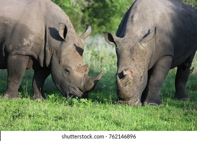 Two rhinoceros eating grass. African rhinos graze in the wild. South Africa,