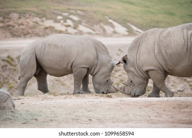 Two Rhinoceros facing off