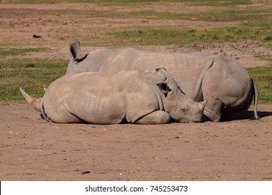 Two rhinoceros's lying down on the ground side by side
