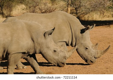 Two Rhinos grazing