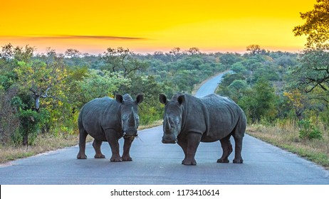 Two Rhinos standing on a road at sunset in Kruger National Park, South Africa