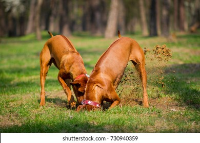 Two rhodesian ridgebacks walking in a park, playing and diging a hole in the ground.