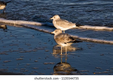 Two ring billed gulls with their reflections in the Atlantic Ocean water at Myrtle Beach South Carolina.