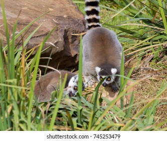 Two ring tail lemurs walking on a rock