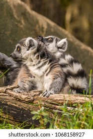 Two ring-tailed lemurs (Lemur catta) one snugly on the back of the other photographed against a blurred background at a zoo. Lemurs are primates native to the island of Madagascar east of Africa.