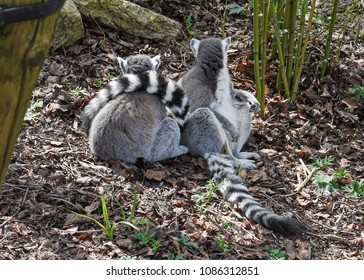 Two Ring-tailed Lemurs sitting together on leaves and twigs, one with tail across the others back.