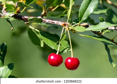 two ripe cherries on a branch in the summer, edible berries in the summer garden in the afternoon