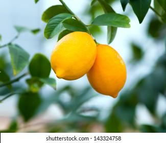 Two ripe lemons hanging on a tree
