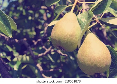 Two ripe yellow pears on the tree in an orchard on a sunny day in early fall. Image filtered in faded, washed-out, retro, Retro style with soft focus; nostalgic vintage rural concept.