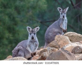 Two rock wallabies looking alert