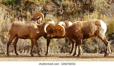 two rocky mountain big horn sheep rams nuzzling in fall in waterton canyon, littleton, colorado