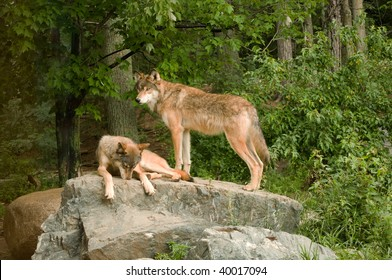 two rocky mountain wolves on top of their den relaxing and sunning in the sunshine