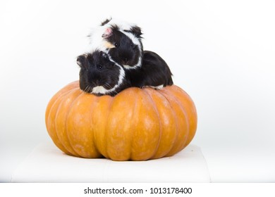 two rodent Guinea pig sitting on a pumpkin looking at camera on white background isolated
