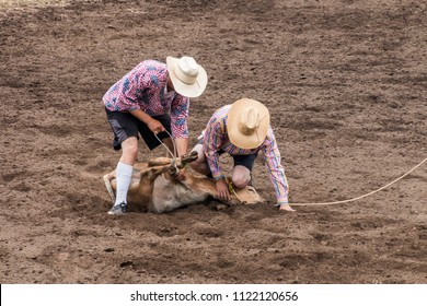 Two rodeo cowboy clowns untie a calf after a calf roping contest is completed. The two cowboy clowns are wearing white hats and wild colored shirts, The calf is on the dirt in the arena.