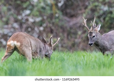 two roe deers with beautiful antlers confront each other during a fight, heads down