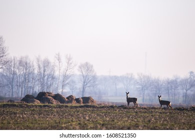 Two roe deers (Capreolus Capreolus) standing on a field with haystack nearby