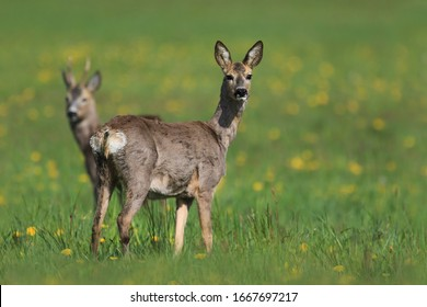 Two roe grazing on the blooming meadow. Roe in the spring landscape. Roe deer, Capreolus capreolus, chewing green leaves, beautiful blooming meadow with many yellow flowers and animal.