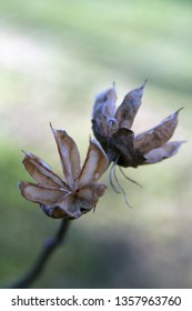 two rose of sharon seed pods with blurred background