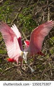 Two roseate spoonbills, Platalea ajaja, standing while stretching their wings in the branches of a tree at a swamp in St. Augustine, Florida.