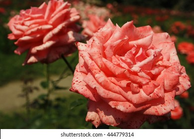 Two roses with  a coral color