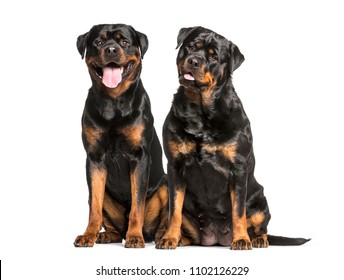Two Rottweiler dogs sitting and panting, isolated