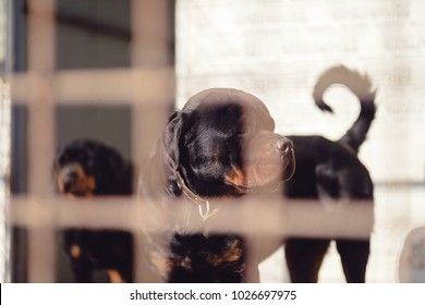 Two rottweilers in a cage waiting to be adopted, in a kennel they are rottweilers for sale, two dogs of pure breed are locked up in a cage, dog rottweiler standing and look off into the distance