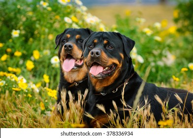 Two Rottweilers lying in spring flowers