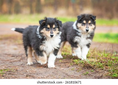 Two rough collie puppies running