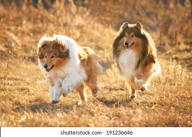 Two rough collies running at sunset