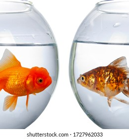 Two round aquarium with goldfish isolated on a white background.Fish look at each other.